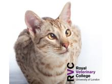 RVC - The cat with syncope/arrhythmias